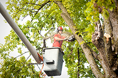 Tree Pruning Service Arborist Trimming Branches